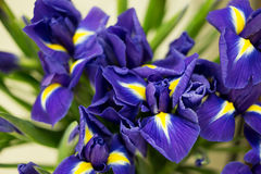 Bright irises Background Stock Photo