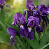 Bright irises in the park. Blue irises in the park Stock Image