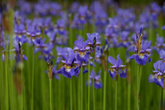 Bright irises in the park. Blue irises in the park Royalty Free Stock Photos
