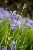 Bright irises in the park. Blue irises in the park Stock Photos
