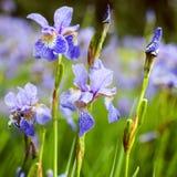 Bright irises in the park. Stock Photos