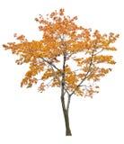 Bright isolated orange maple tree. Gold autumn maple tree isoalted on white background Royalty Free Stock Images