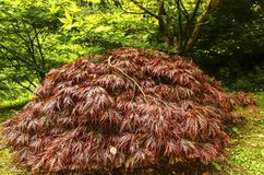 Bright japanese maple Acer japonicum  in the autumn garden. Bright japanese maple Acer japonicum in the autumn garden on a sunny day Royalty Free Stock Photo