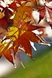 Bright japanese maple leaves stock photos