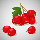 Bright juicy hawthorn on grey background. Sweet delicious for your design in cartoon style. Vector illustration. Berries Royalty Free Stock Photo