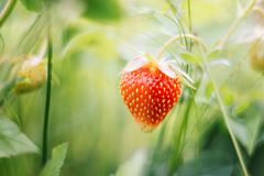 Bright juicy ripe strawberries in the garden. Sweet red berry on a green blurred background in the sunlight. Strawberry on a bush stock photos