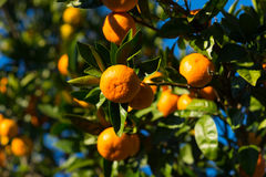 Bright and juicy tangerines. On a lush tree with leaves Stock Photography