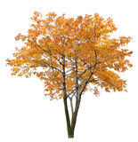 Bright large isolated maple tree. Gold autumn maple tree isoalted on white background royalty free stock photography