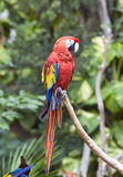 Bright large tropical parrot Stock Photos