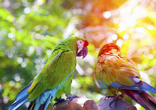Bright large tropical parrots sit on a branch Royalty Free Stock Images