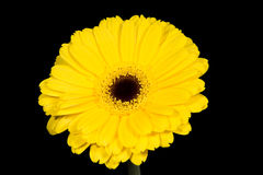Bright and large yellow gerbera. Stock Images