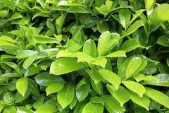 Bright laurel bush Royalty Free Stock Images
