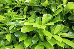 Bright laurel bush Stock Photography