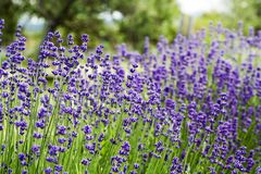 Bright lavender flowers 4. Close up of a lavender plant with lots of flowers Stock Photo
