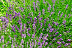 Bright lavender flowers 5. Close up of a lavender plant with lots of flowers Royalty Free Stock Photography
