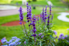 Bright lavender in the garden. The lavender bushes in the Park Royalty Free Stock Image