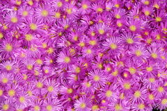 Bright Lavender Ice Plant. Stands out in a garden on a sunny day stock photo