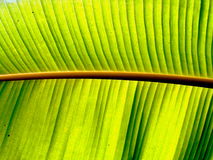 Bright Leaf. A bright leaf of a palm tree, with a beautiful pattern Royalty Free Stock Image