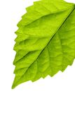 Bright leaf. Very bright green leaf on white Royalty Free Stock Photo