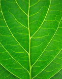 Bright Leaf Royalty Free Stock Images