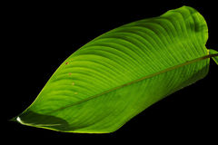 Bright leaf. The green leaf with back light royalty free stock photography