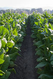 Bright leaf tobacco field detail Stock Photography