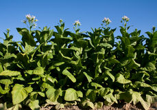 Bright leaf tobacco with flowers. Stock Photography