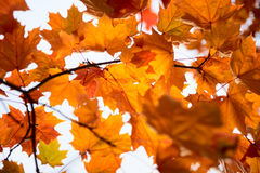 Bright  leaves on autumn day Stock Images