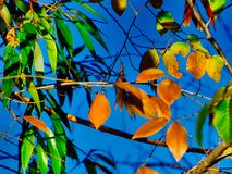 Bright Leaves and Blue Sky Background. Colorful leaves and blue sky background. Horsethief Canyon State Wildlife Area in western Colorado has scenic views stock images