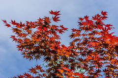 Bright leaves of red maple Royalty Free Stock Images