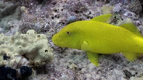 Bright lemon yellow fish in corals underwater Red sea. Relax video about marine nature of beautiful lagoon stock video footage