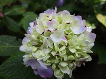 Bright light color hydrangea flower close up from the garden, Spring 2018 royalty free stock images