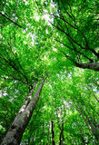 Bright light green forest. Bright light green vertical forest background with aspens Stock Images