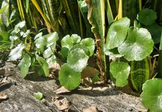 Bright light on green Water Pennywort plant Royalty Free Stock Photos