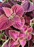 Bright light on Painted Nettle or Coleus Stock Photos