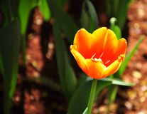 Bright light on strong  orange colour Tulip field Stock Images