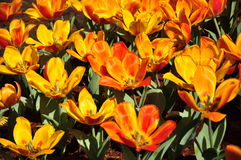 Bright light on strong  orange colour Tulip field Stock Photos