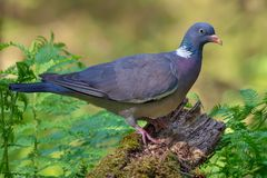 Bright lighted Common wood pigeon posing on old branch wit a lot of greeb foliage around stock photos