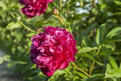 Let be the bee on a red peony free royalty free stock image