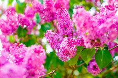 Bright lilac branch close up. Spring flowers selective focus stock images