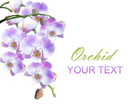 Bright lilac orchids isolated Royalty Free Stock Photography