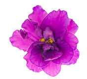 Bright lilac single isolated violet flower Stock Photos