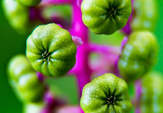 Bright Lime Green Pokeweed Berries Growing from a Purple Stem. Growing from a purple stem are clusters of bright lime green pokeweed poisonous berries that will stock photo