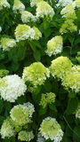 Bright lime white blooms. A limelight hydrangea bush full of summer blooms Royalty Free Stock Images