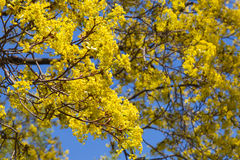 Bright linden blossom on branches on blue sky Royalty Free Stock Image