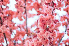 Living coral blossom background royalty free stock image