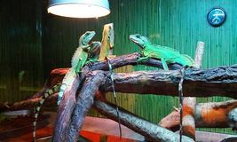 Bright Lizards. Animals are some of the best objects for interesting photos, lizards are no exception royalty free stock photo