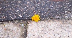 Bright but lonely. Single dandelion on the asphalt Stock Image