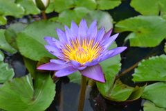 The bright lotus flower. Pic was taken in August 2017 royalty free stock images