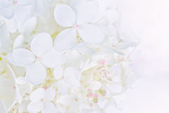 Bright luminous white Hydrangea flowers Stock Photos